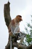 Proboscis monkey or long-nosed monkey Royalty Free Stock Photography