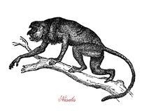 Proboscis monkey or long-nosed monkey vintage engraving. Proboscis monkey or long-nosed monkey is native of Borneo island, has a large nose and a pot belly Royalty Free Stock Photos