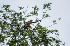 Proboscis monkey or long nosed monkey Nasalis larvatus crawls. On  tree in the jungles of Borneo. Malaysia Royalty Free Stock Photos
