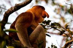Proboscis monkey in the forest in Borneo stock photography