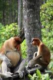 Proboscis Monkey Male Stock Image
