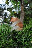 Proboscis Monkey (male) Royalty Free Stock Photos