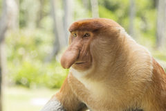 Proboscis monkey, male. Royalty Free Stock Image