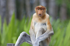 Proboscis monkey. In the mangrove in Labuk Bay, Borneo Stock Images