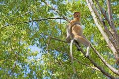 Proboscis monkey. In the mangrove in Labuk Bay, Borneo Royalty Free Stock Image