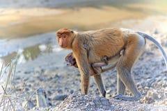 Proboscis monkey. In the mangrove in Labuk Bay, Borneo Stock Photos
