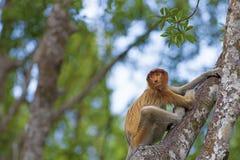 Proboscis monkey Royalty Free Stock Photography