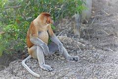 Proboscis monkey Stock Photo