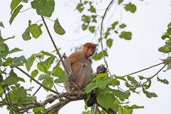 Proboscis monkey Stock Photos