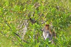 Proboscis monkey Royalty Free Stock Image