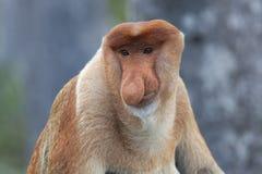 Proboscis monkey Royalty Free Stock Photos