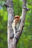 Proboscis monkey. In the mangrove in Labuk Bay, Borneo Royalty Free Stock Photo