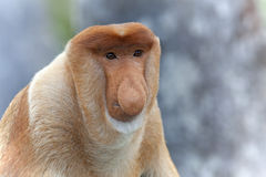 Proboscis monkey Royalty Free Stock Photos