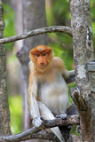 Proboscis monkey Stock Photos