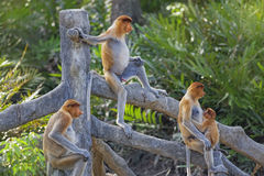 Proboscis monkey. S in the mangrove in Labuk Bay, Borneo Royalty Free Stock Images