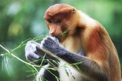 Proboscis monkey Stock Images