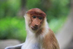 A proboscis monkey Royalty Free Stock Photography