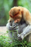 A proboscis monkey Royalty Free Stock Photo