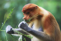 A proboscis monkey Stock Photo