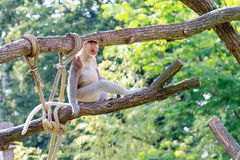 The proboscis monkey Stock Photos