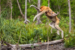 Proboscis Monkey (Nasalis larvatus) endemic of Borneo. Female with a baby jumping from tree to tree royalty free stock image