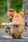 Proboscis Monkey (Nasalis larvatus) endemic  of Borneo. Stock Photo