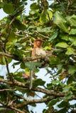 Proboscis Monkey (Nasalis larvatus) endemic of Borneo. Female sitting on the tree in forest royalty free stock photo
