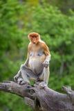Proboscis Monkey (Nasalis larvatus) endemic of Borneo. Female sitting on the tree in forest stock images