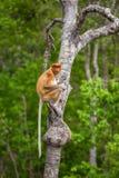 Proboscis Monkey Nasalis larvatus endemic of Borneo. Female sitting on the tree in forest stock image