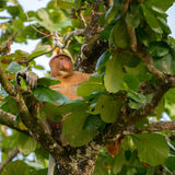 Proboscis Monkey Nasalis larvatus endemic of Borneo. Male with a huge nose sit on the tree like a boss royalty free stock images