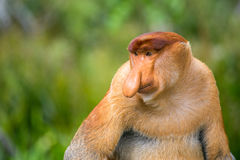 Proboscis Monkey (Nasalis larvatus) endemic of Borneo. Male portrait with a huge nose stock photo