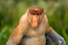 Proboscis Monkey Nasalis larvatus endemic of Borneo. Male portrait with a huge nose Royalty Free Stock Image