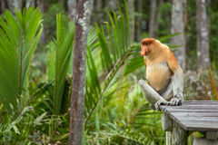 Proboscis Monkey Nasalis larvatus endemic of Borneo. Male portrait with a huge nose Stock Photography