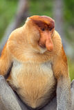 Proboscis Monkey Nasalis larvatus endemic of Borneo. Male portrait with a huge nose Royalty Free Stock Images
