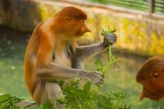Proboscis Monkey Nasalis larvatus endemic of Borneo. Male portrait with a huge nose. Stock Photos