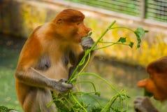 Proboscis Monkey Nasalis larvatus endemic of Borneo. Male portrait with a huge nose. Stock Photography