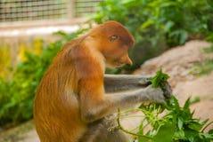 Proboscis Monkey Nasalis larvatus endemic of Borneo. Male portrait with a huge nose. Stock Image