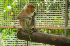 Proboscis Monkey Nasalis larvatus endemic of Borneo. Male portrait with a huge nose. Stock Photo