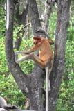Proboscis Monkey. The proboscis monkey (Nasalis larvatus) or long-nosed monkey, known as the bekantan in Indonesia, is a reddish-brown arboreal Old World monkey Stock Image