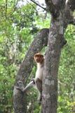 Proboscis Monkey. The proboscis monkey (Nasalis larvatus) or long-nosed monkey, known as the bekantan in Indonesia, is a reddish-brown arboreal Old World monkey Stock Photos