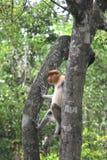 Proboscis Monkey. The proboscis monkey (Nasalis larvatus) or long-nosed monkey, known as the bekantan in Indonesia, is a reddish-brown arboreal Old World monkey Royalty Free Stock Photos