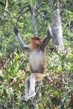 Proboscis Monkey. The proboscis monkey (Nasalis larvatus) or long-nosed monkey, known as the bekantan in Indonesia, is a reddish-brown arboreal Old World monkey Stock Photography
