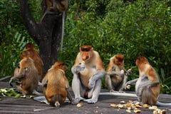 Proboscis monkey (Nasalis larvatus) or long-nosed monkey Stock Photography