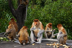Proboscis monkey (Nasalis larvatus) or long-nosed monkey. The proboscis monkey (Nasalis larvatus) or long-nosed monkey, known as the bekantan in Indonesia, is a Stock Photography