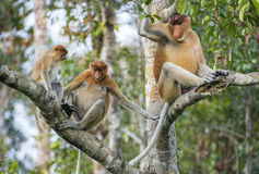 Proboscis Monkey (Nasalis larvatus) sitting on a tree in the wild green on Borneo rainforest Royalty Free Stock Image