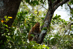 Proboscis monkey o the tree in Borneo forest. Stock Photography