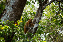 Proboscis monkey o the tree in Borneo forest. Stock Images