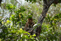 Proboscis monkey o the tree in Borneo forest. Royalty Free Stock Photos