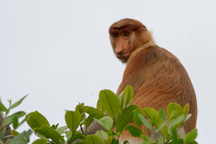 Proboscis Monkey. This is a photo of a proboscis monkey Stock Image