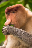 Proboscis monkey portrait Stock Photos